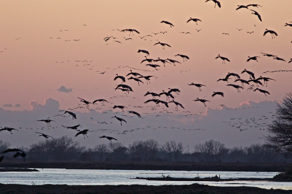 Cranes descend on Rowe Audubon Sanctuary.  Photo by Arlene Koziol
