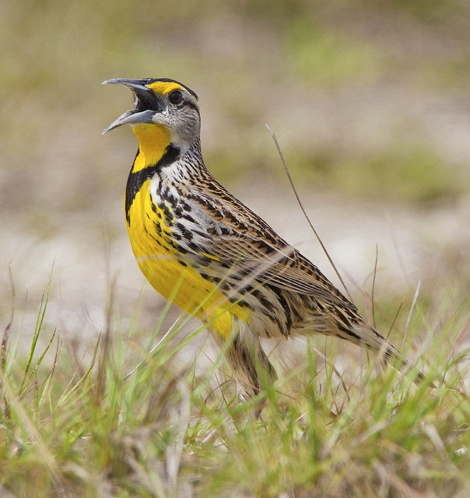 You spoke, we listened! We hope you'll enjoy our new website. Eastern meadowlark photo by Phil Brown.