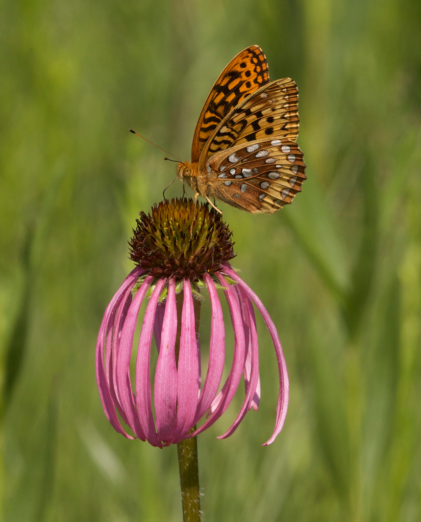 Great Spangled Fritillary on Purple Cone Flower. Photo by Arlene Koziol.