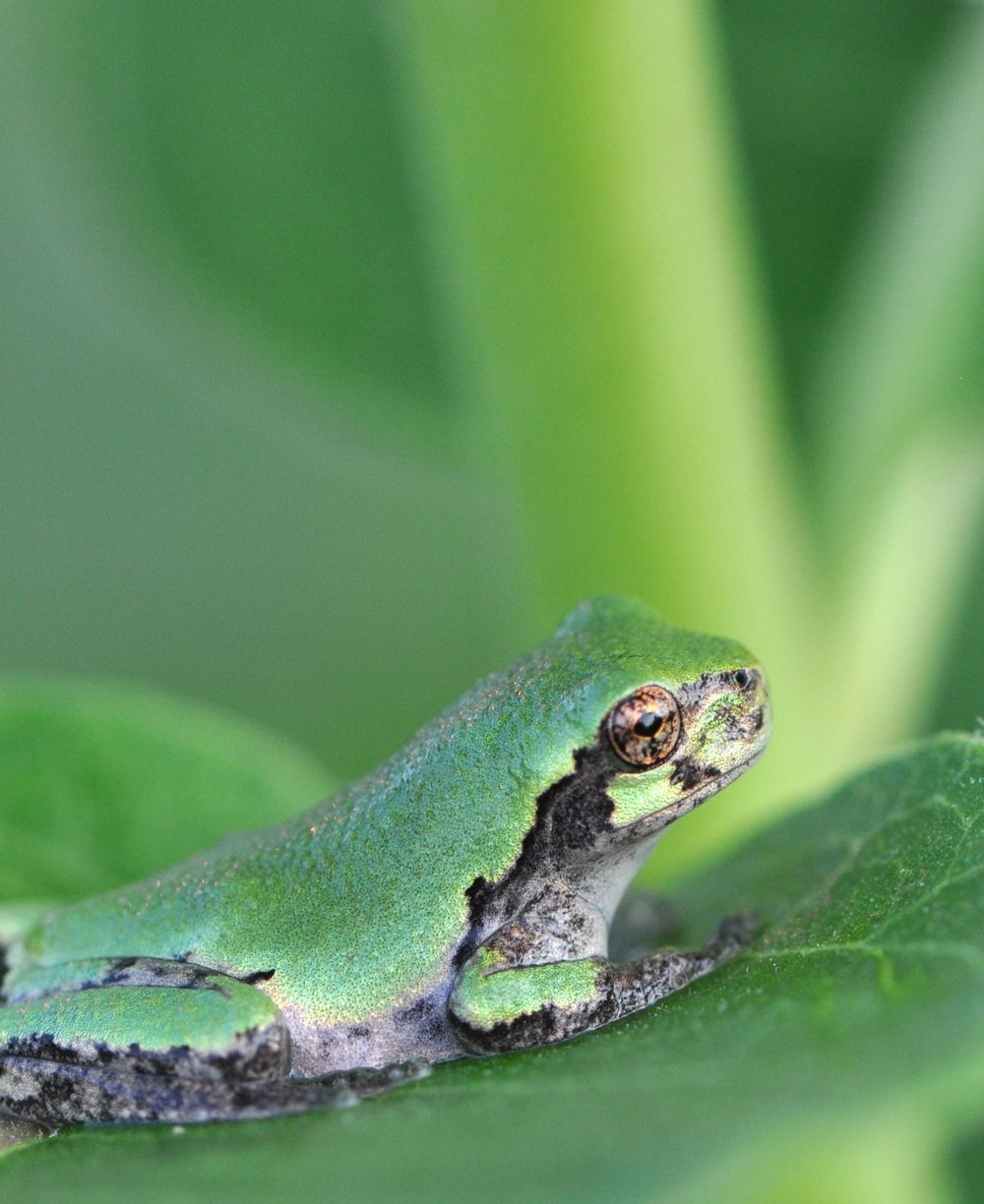 Eastern gray tree frog. Photo by USFWS.
