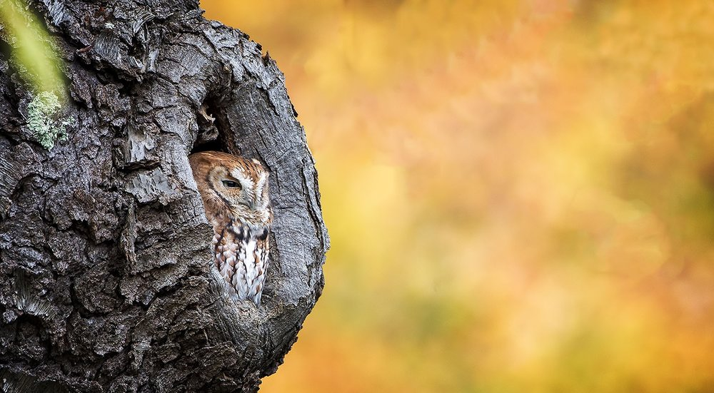 Eastern screech owl. Photo by Phil Brown, Creative Commons.