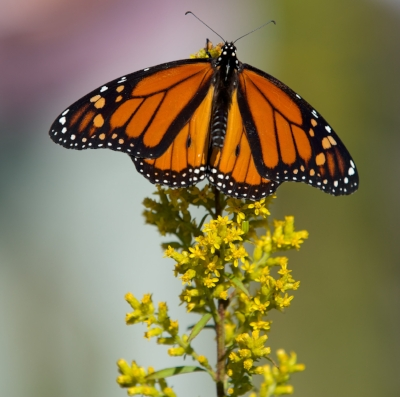 A monarch butterfly on showy goldenrod at Madison Audubon's Goose Pond Sanctuary. Photo by Arlene Koziol