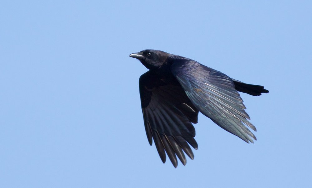 The American Crow. Photo by Arlene Koziol