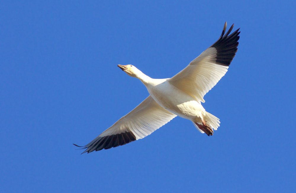 Snow Goose in Flight, Photography by Arlene Koziol