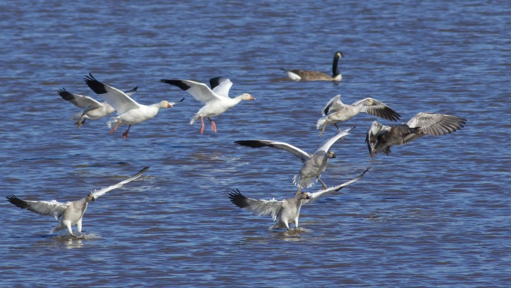 Snow Geese Landing, Photography by  Arlene Koziol