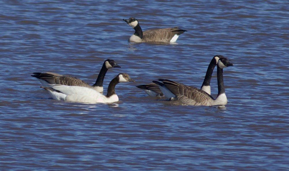 Leucistic Canada Goose, Photography by: Arlene Koziol