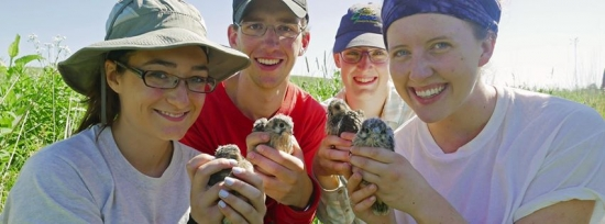 Madison Audubon interns hold newly-banded American kestrel chicks before they're placed back in their nest box.   Click here to make a donation to support Madison Audubon's conservation programs, like the kestrel box trail.
