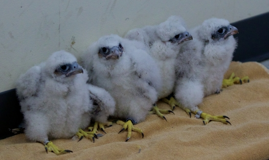Above, this year's brood of feathered, fuzzy urban falcons. Photo by Arlene Koziol