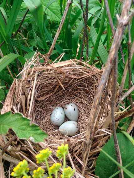 Red-wing blackbird nest, photography by Maddie Dumas
