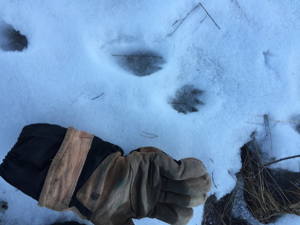 Otter tracks featuring Drew's Glove for scale, Photography by Drew Harry