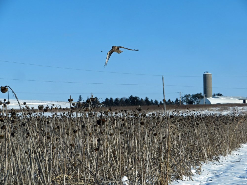 A northern harrier hunting over the food plot in mid December, photo credits to Maddie Dumas