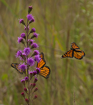 Monarchs nectaring on a vibrant meadow blazing star flower at Goose Pond Sanctuary. Photo by Arlene Koziol