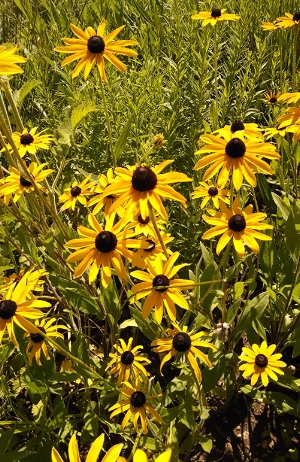 Black-eyed Susan.jpg