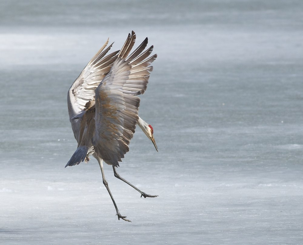 Your generosity made this Sandhill Crane want to dance! (Photo by Arlene Koziol)
