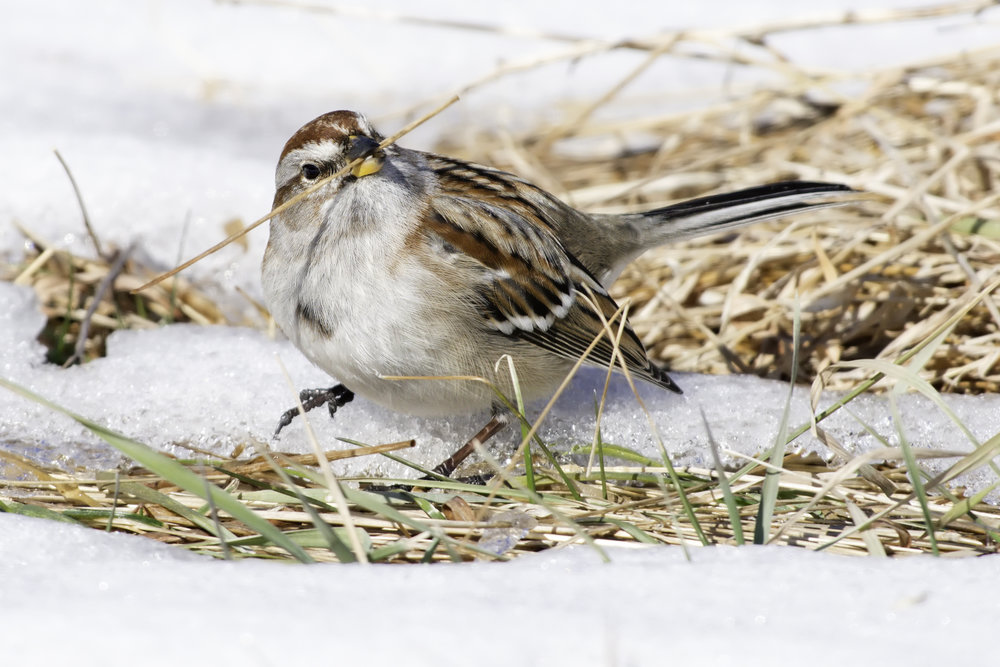American Tree Sparrow, Photography by Kelly Colgan Azar