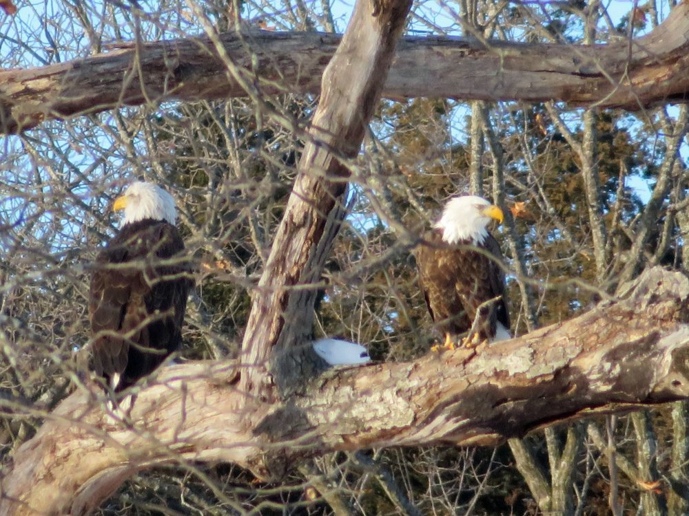 A pair of bald eagles spotted on the Poynette Christmas Bird Count. Photo by Maddie Dumas