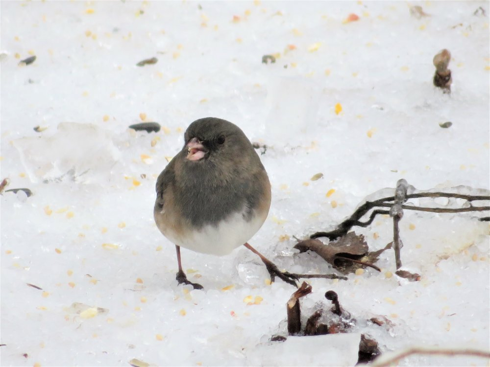 Dark-eyed Junco, photography by Maddie Dumas