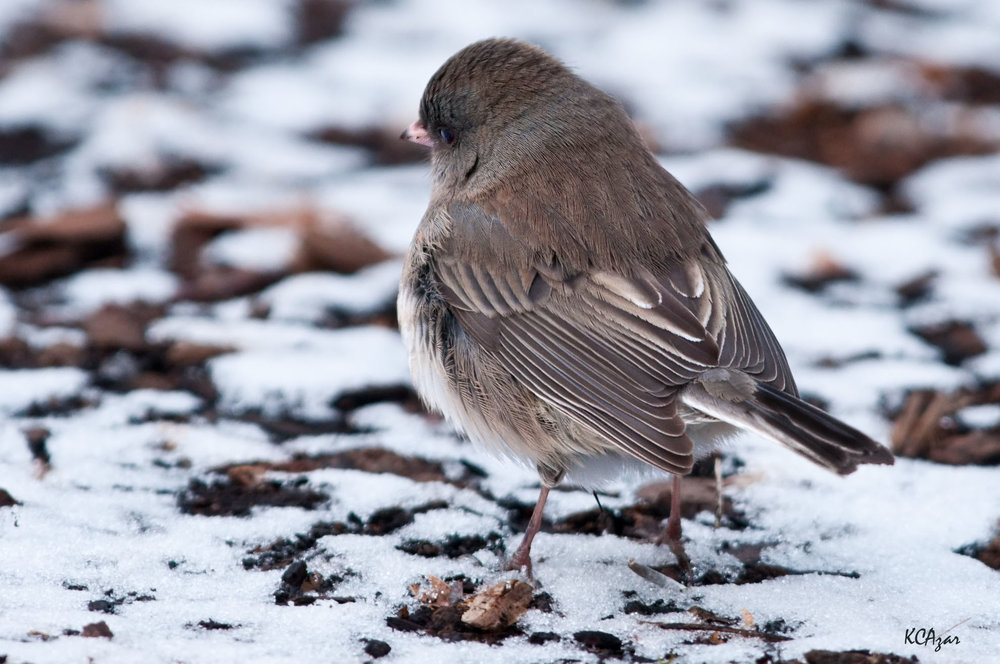 Dark-eyed Junco, photography by Kelly Colgan Azar