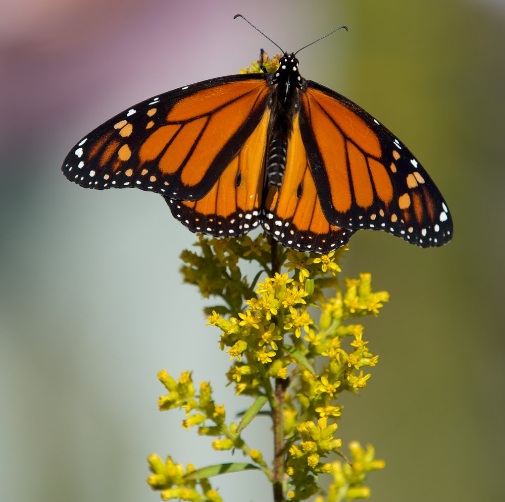 Monarch on goldenrod; Photo by Arlene Koziol