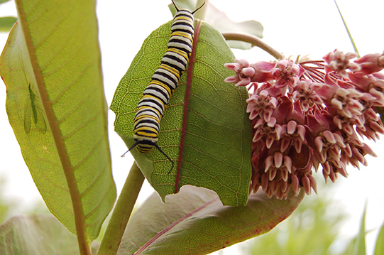Monarch caterpillar munching on a commonmilkweed leaf,  MAS photo
