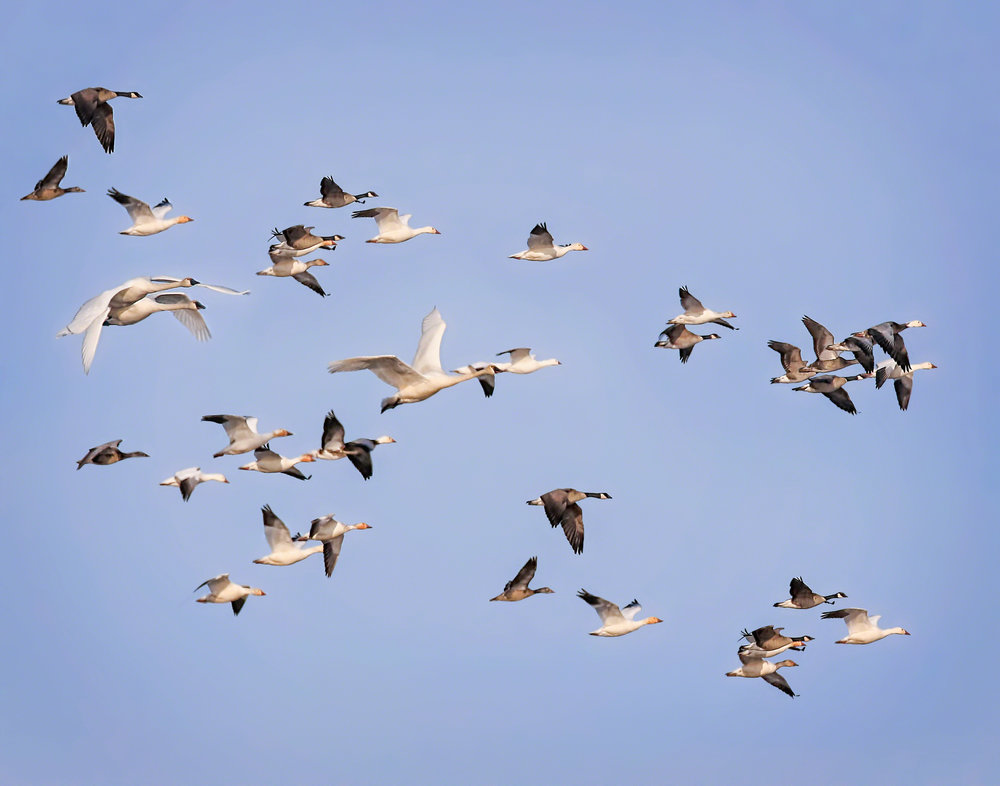 Snow geese including the blue color phase (blue geese), cackling geese (smaller dark geese), Canada geese, and tundra swans at Goose Pond Sanctuary. Photo by Monica Hall