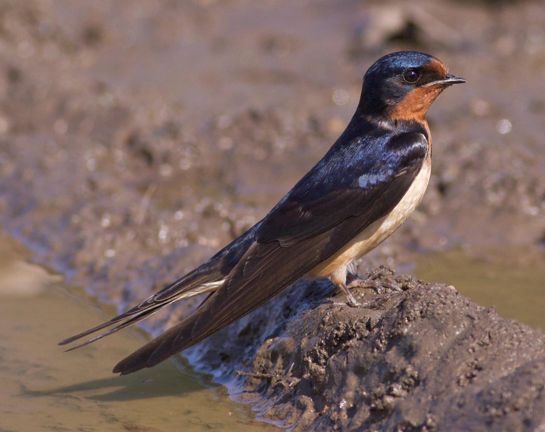 barn swallow madison audubon