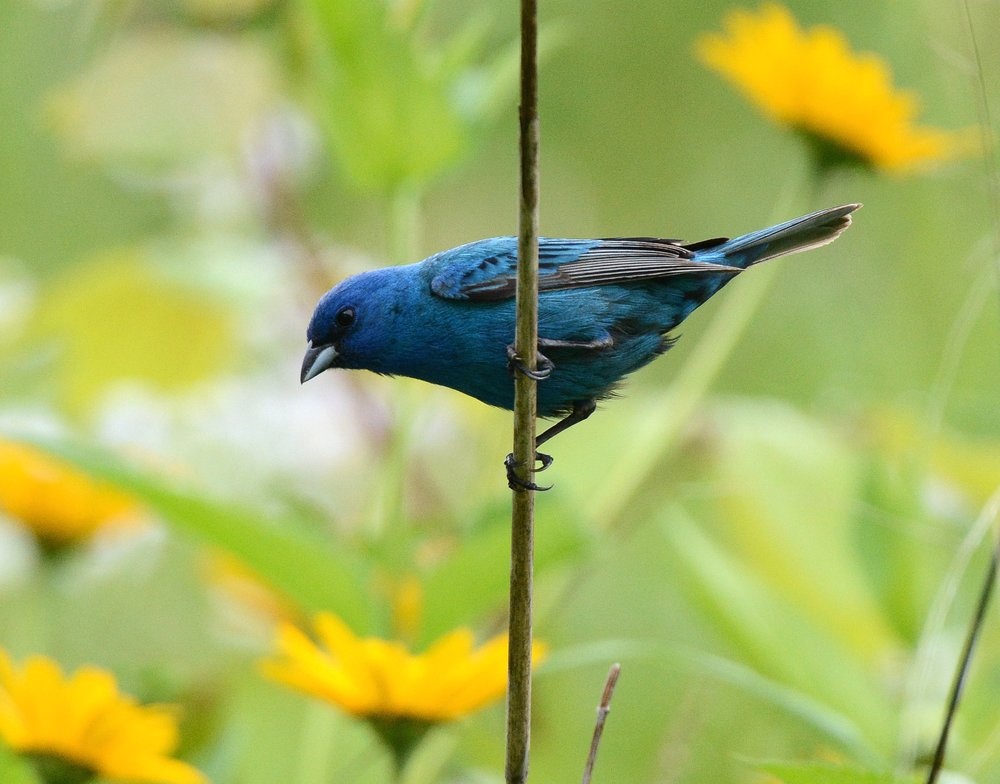 Indigo Bunting by Jim Hudgins, US Fish and Wildlife Service