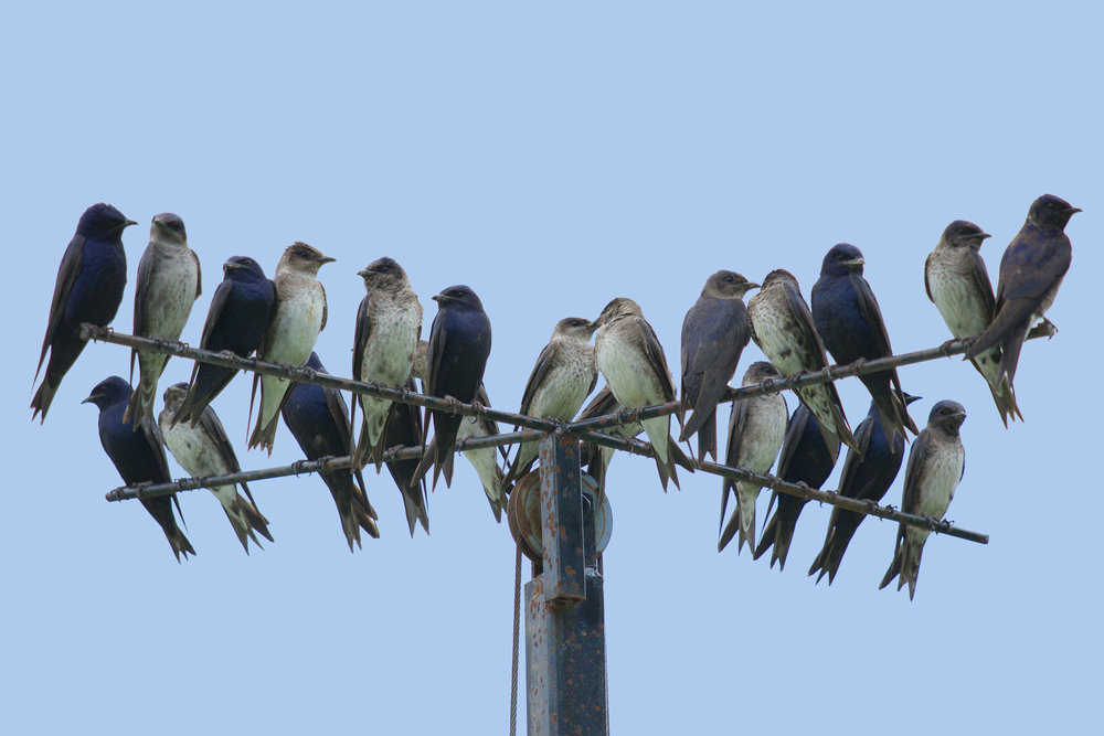 Purple martins perched above a nest box at a home in Marquette County. Photo by Arlene Koziol