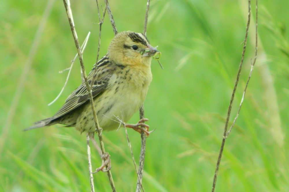 Adult female bobolink. Photo by Carolyn Byers