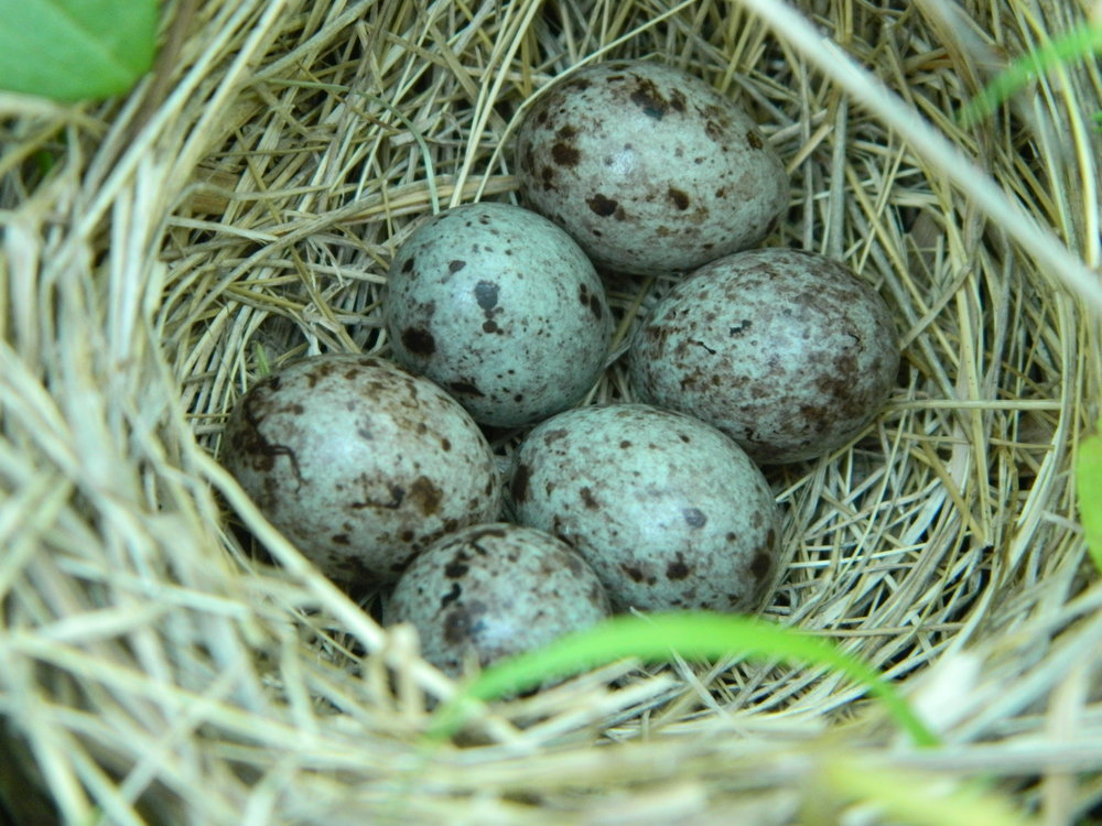 Bobolink eggs with their lovely purple speckling. Photo by Carolyn Byers