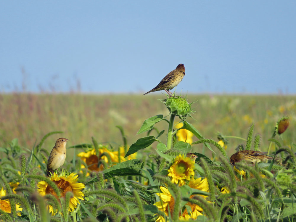 Bobolinks feast at the Goose Pond Sanctuary food plot in August 2017. Photo by Maddie Dumas
