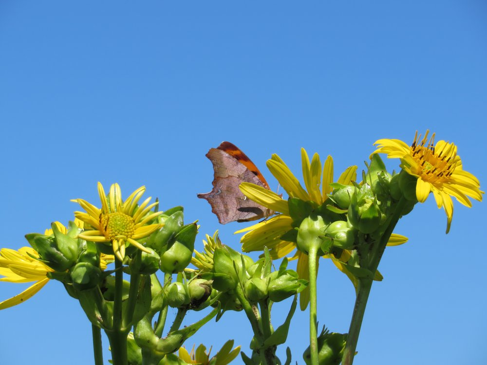 A question mark butterfly obscured by the cup plant it nectars on is one of the hundreds of butterflies counted at Goose Pond Sanctuary this July. Photo by Maddie Dumas