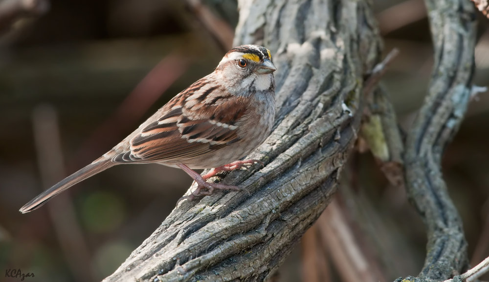 White-striped white-throated sparrow, photo by Kelly Colgan Azar