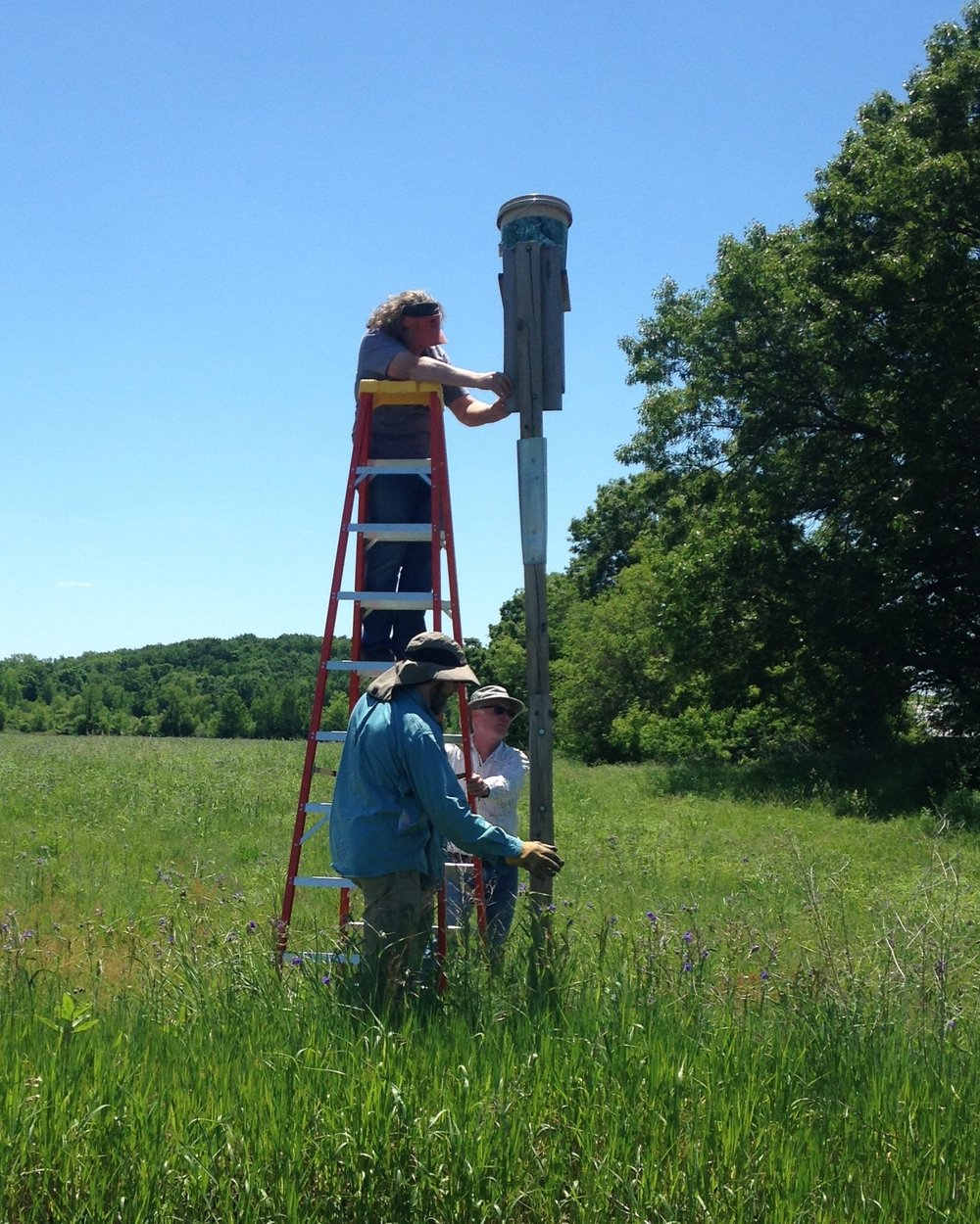 Janet Eschenbauch of the Central Wisconsin Kestrel Research program (on ladder), Brand Smith (white), and Jim Shurts (blue) retrieve kestrel chicks from one of the nest boxes monitored through Madison Audubon. MAS Photo