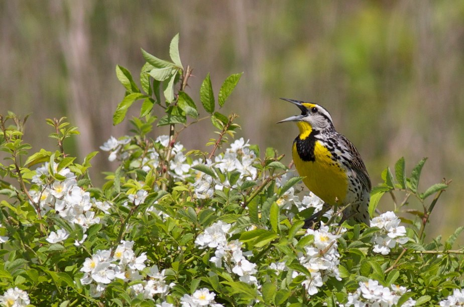 Eastern meadowlark, photo by Arlene Koziol