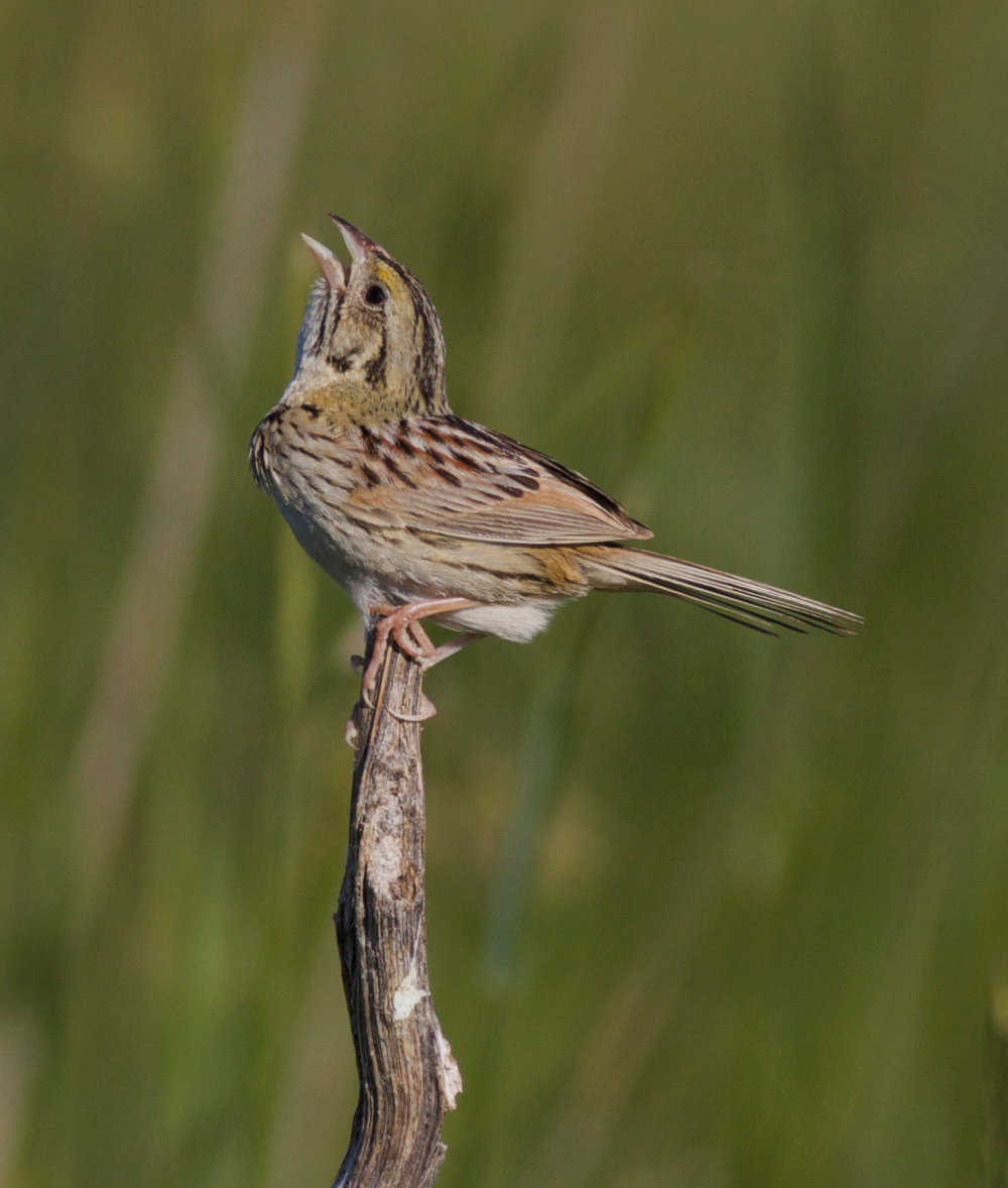 Henslow's sparrow, photo by Arlene Koziol