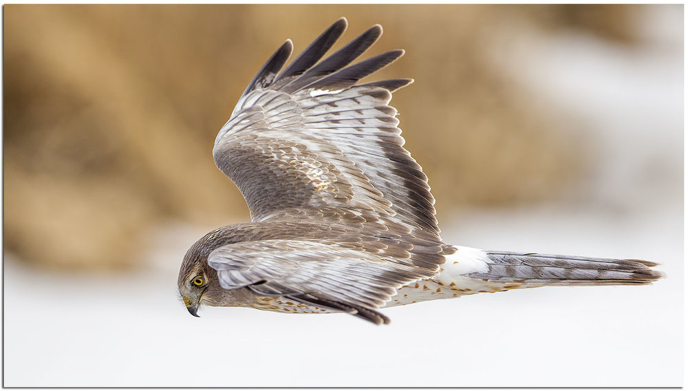 Northern harrier, photo by Phil Brown