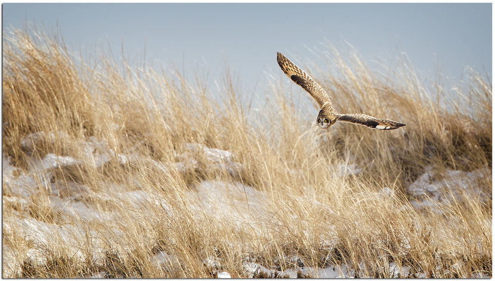 Short-eared owl, photo by Phil Brown