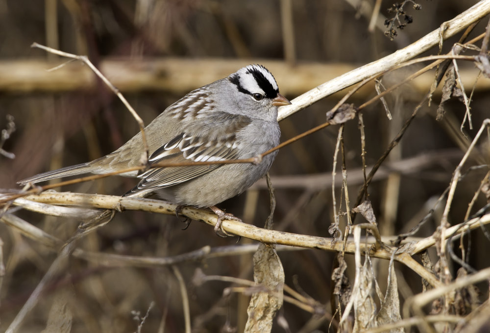 White-crowned sparrow, photo by Kelly Colgan Azar