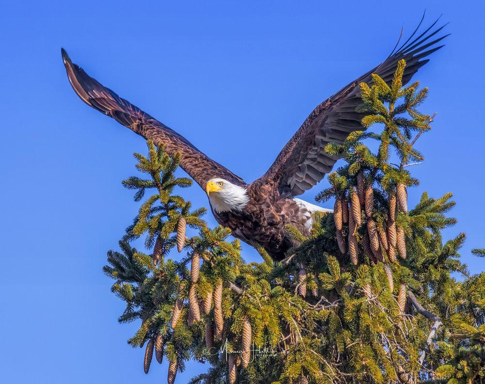Bald eagle photo by Monica Hall