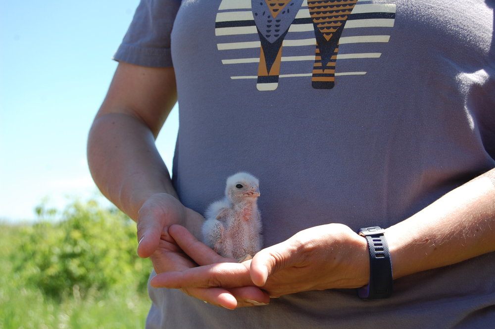 An American kestrel chick about to be banded as a monitoring effort through Madison Audubon and the Central Wisconsin Kestrel Research program. MAS Photo