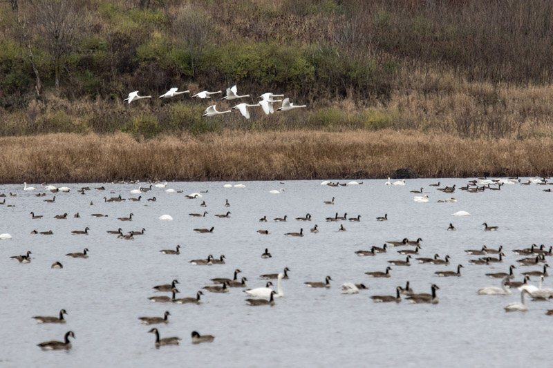 Tundra swans arriving at Goose Pond, photo by Linda Pils
