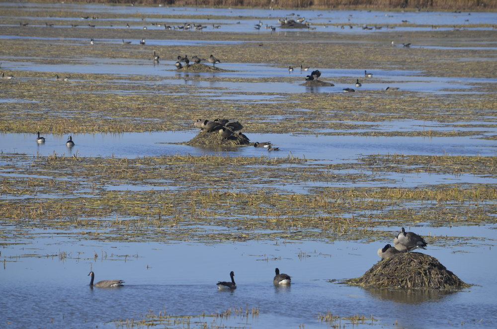 Goose Pond covered in arrowheads and muskrat houses, photo by Mark Martin