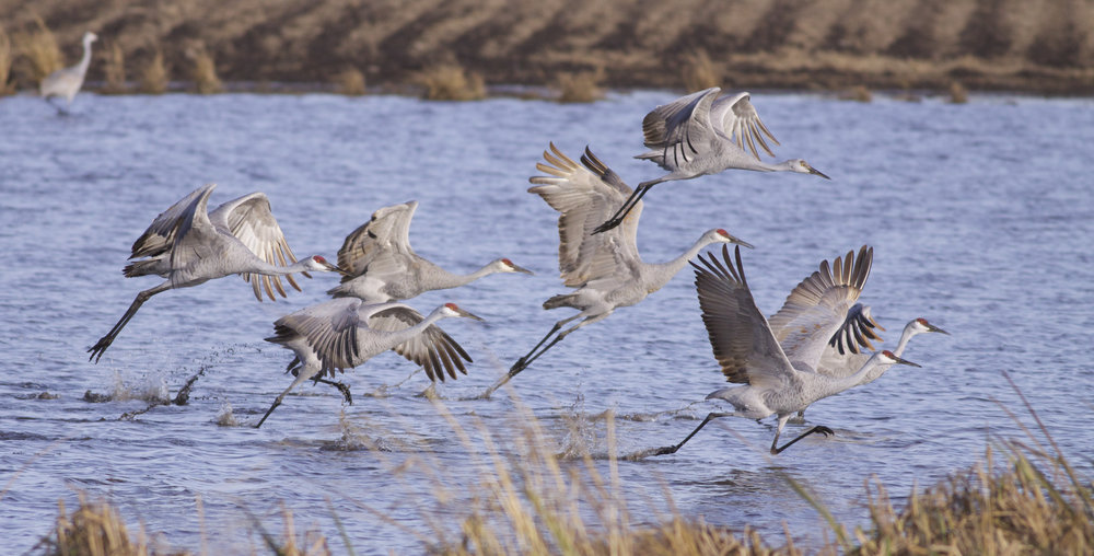 Sandhill cranes use prairie potholes like Goose Pond for nourishment and rest. Photo by Arlene Koziol