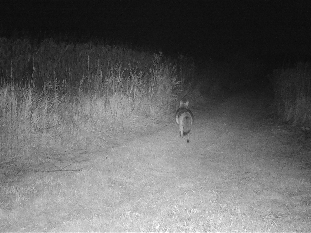 A well-fed coyote on the hunt at 6:18 am on October 19, 2017