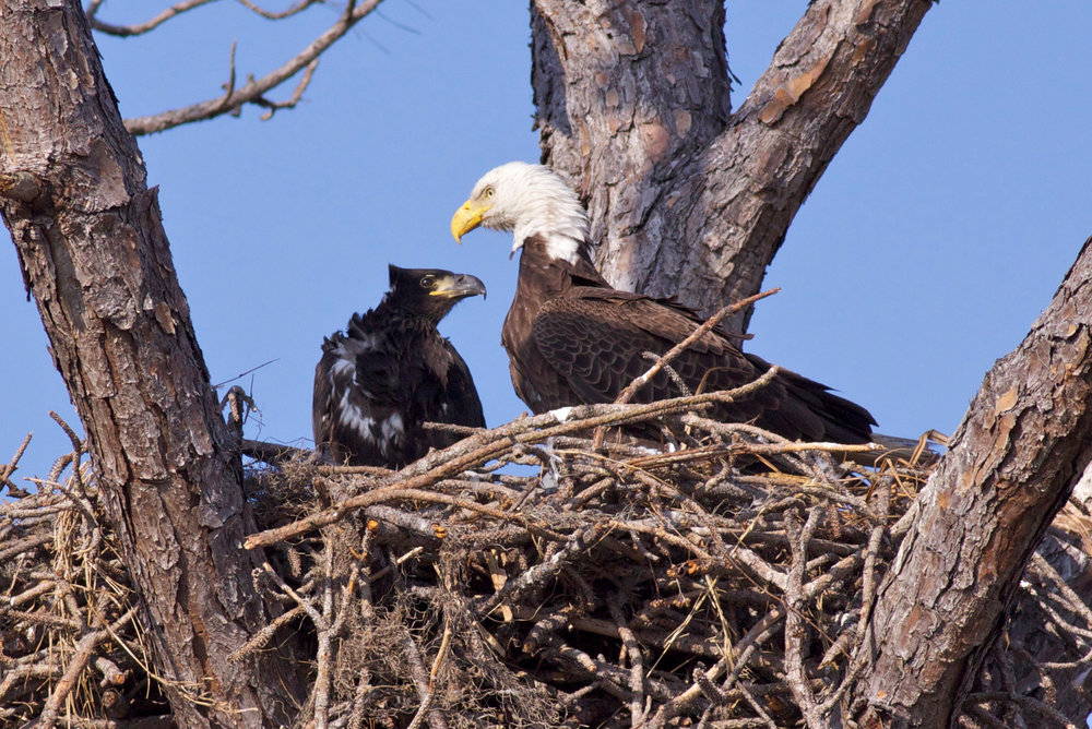 Bald eagle family in nest, photo by Arlene Koziol