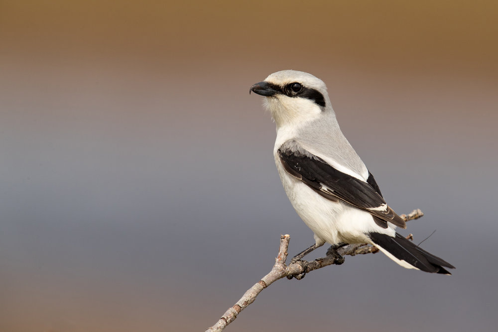 Northern shrike photo by Mick Thompson