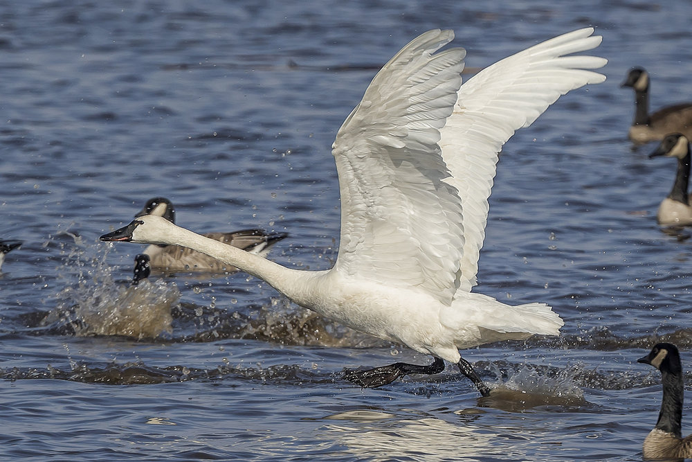 Canada geese and tundra swans were at an all-time high for the Madison CBC this year. Photo by Monica Hall