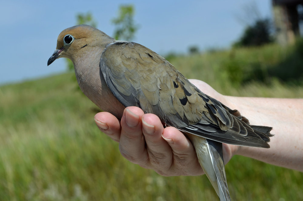 We wonder if any of the 85 mourning doves banded at Goose Pond are spending the winter with us.  Photo by Mark Martin