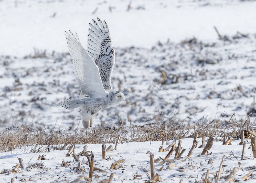 Snowy owl, photo by Monica Hall